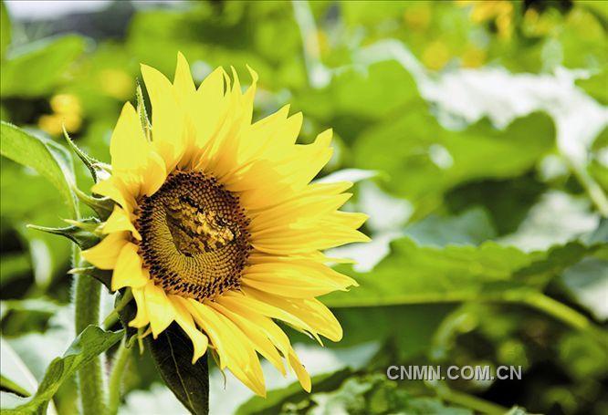 刘鹏摄影作品:向阳花