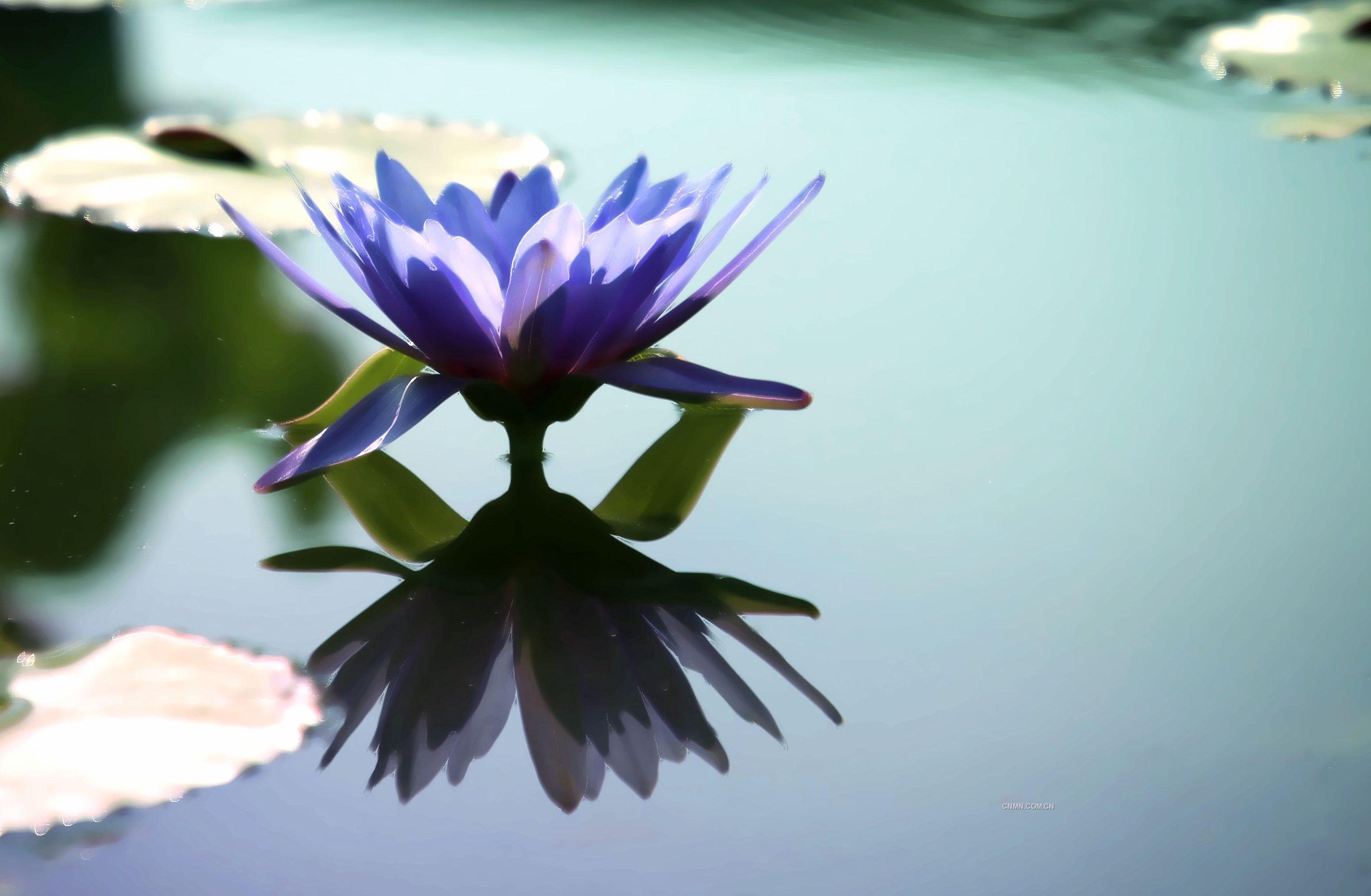 紫睡莲手绘高清