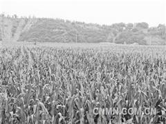 """【图片新闻】中铝矿业复垦区种出百亩玉米""""青纱帐"""""""